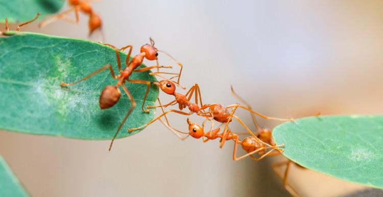 ant bridge