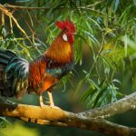Craciformes: Including Megapodes, Curassow & Malleefowl