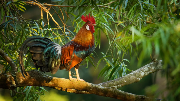 cracidae jungle fowl
