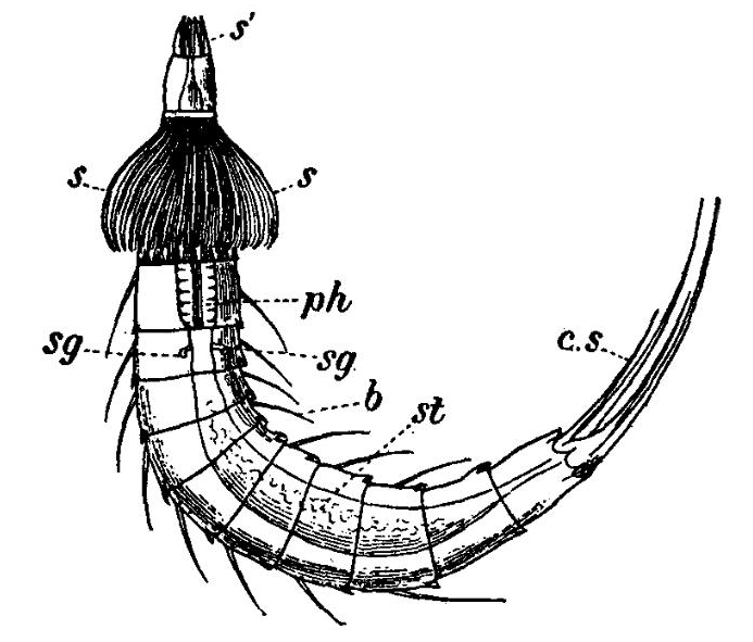 kinorhyncha anatomy