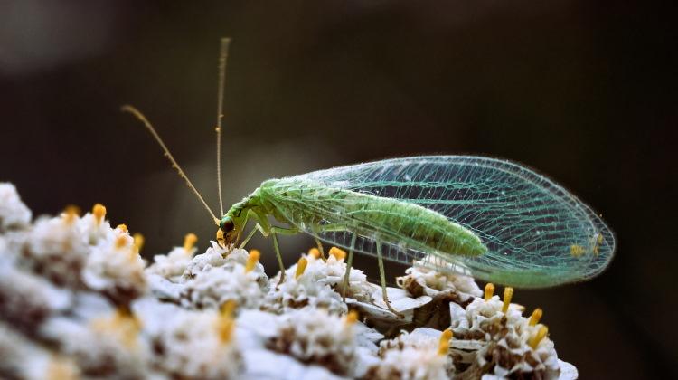 Neuroptera lacewing