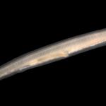 Cephalochotdata: Subphylum Of The Ancient Lancelets
