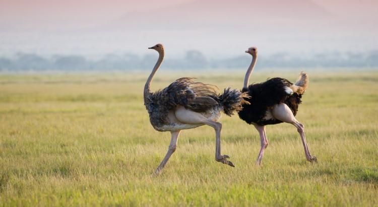 ostrich largest bird