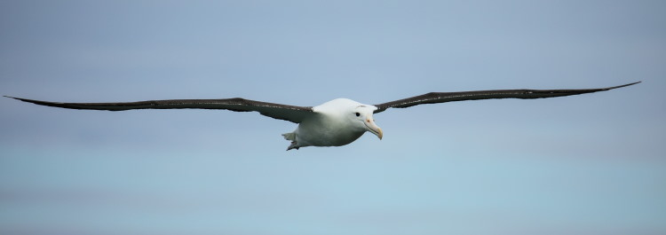 largest wing span bird fact