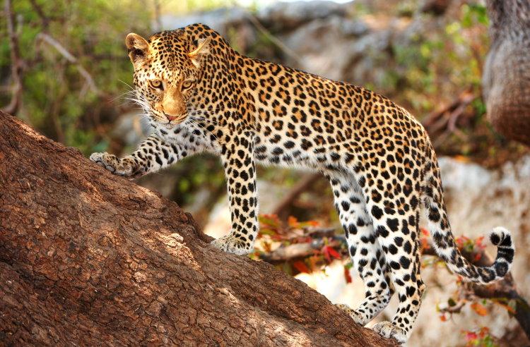 big leopard facts