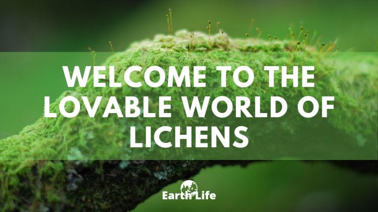 what is lichen feature