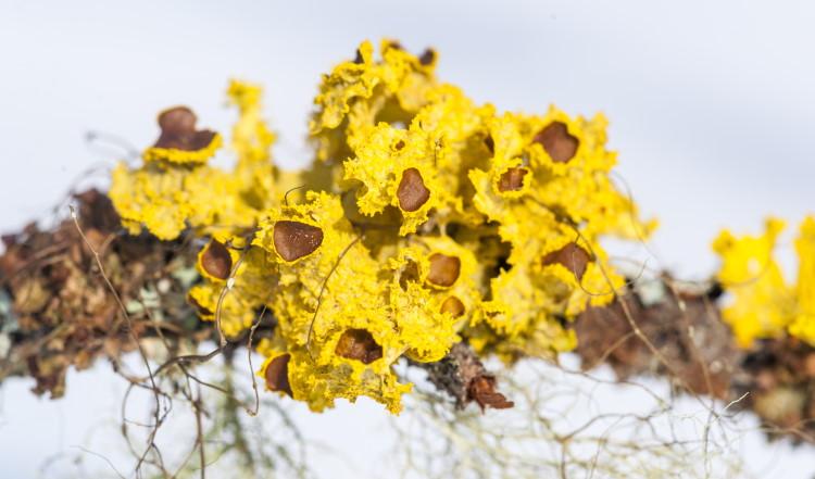 Cetraria canadensis lichen