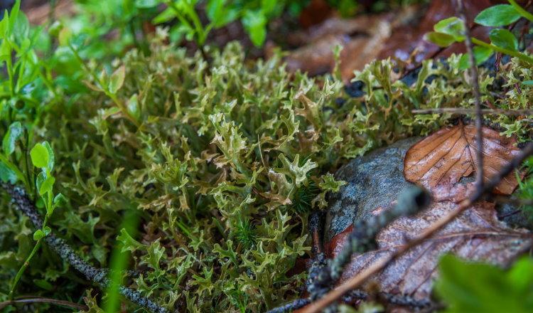 Cetraria islandica lichen