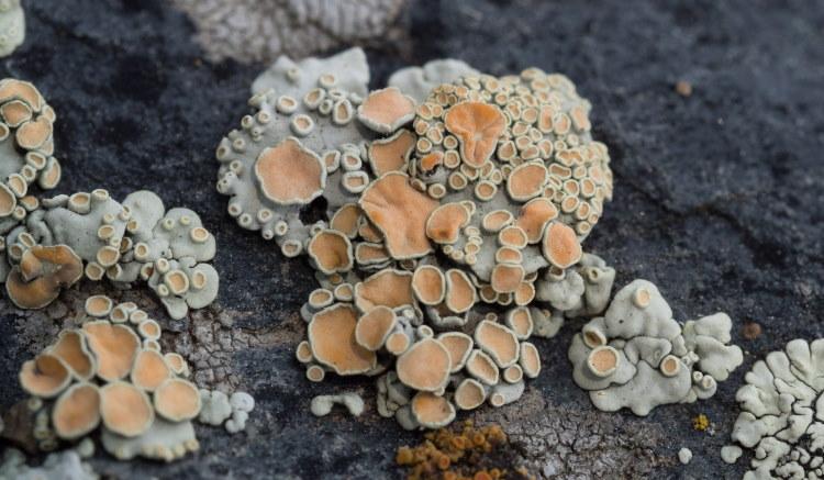 Lichen Ochrolechia tartarea