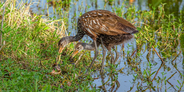 limpkin mother and young