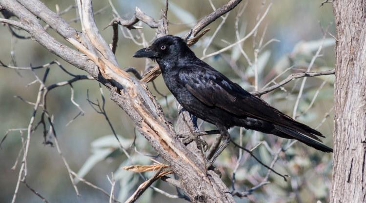 little crow species