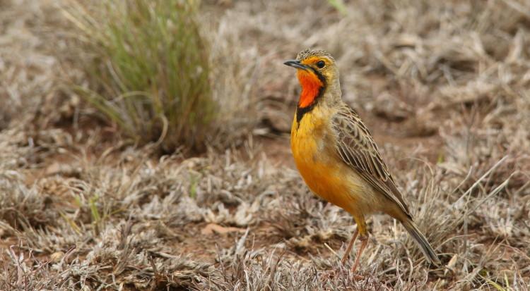longclaw bird orange