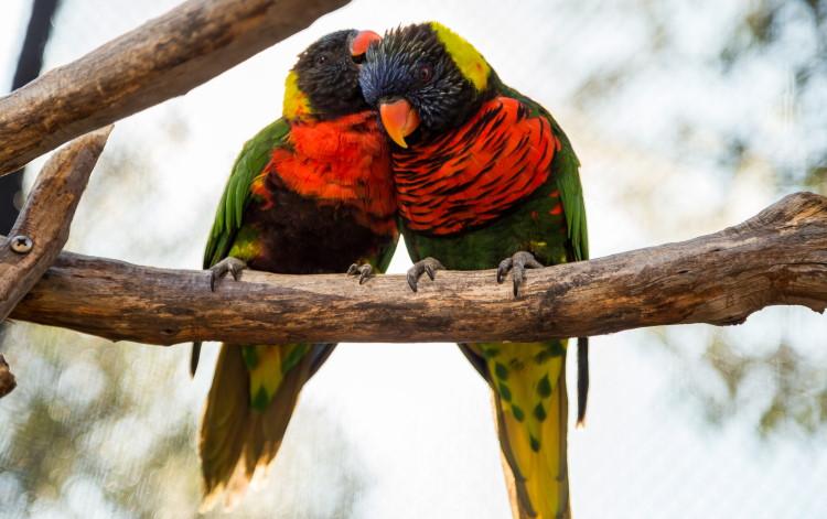 psittaciformes Agapornis love birds