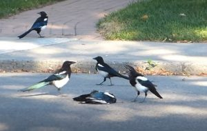 Magpies (Pica pica) gather around a dead magpie cawing.
