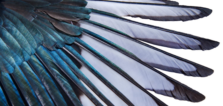 magpie feathers