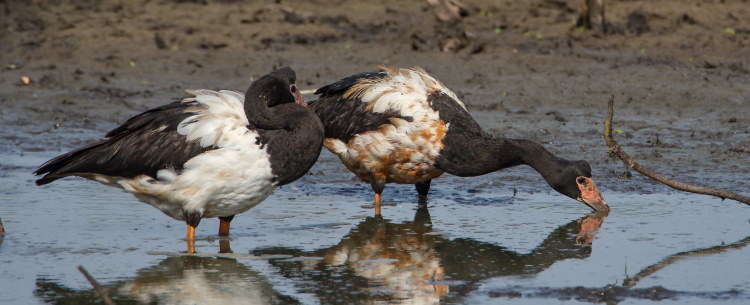 pair of magpie geese