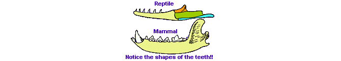 what is mammal lower jaw structure