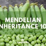 Mendelian Inheritance 101: The History of Genetics Explained