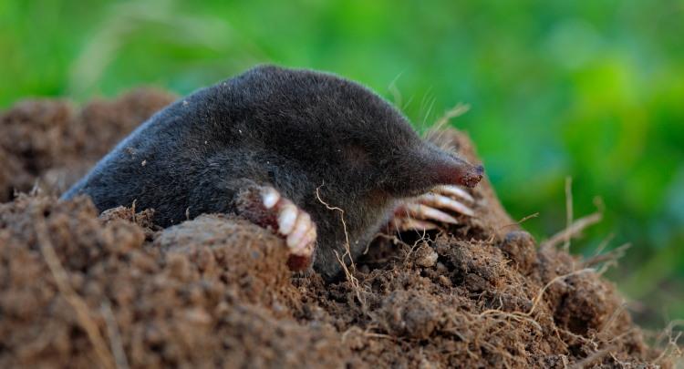 what do moles mammals eat