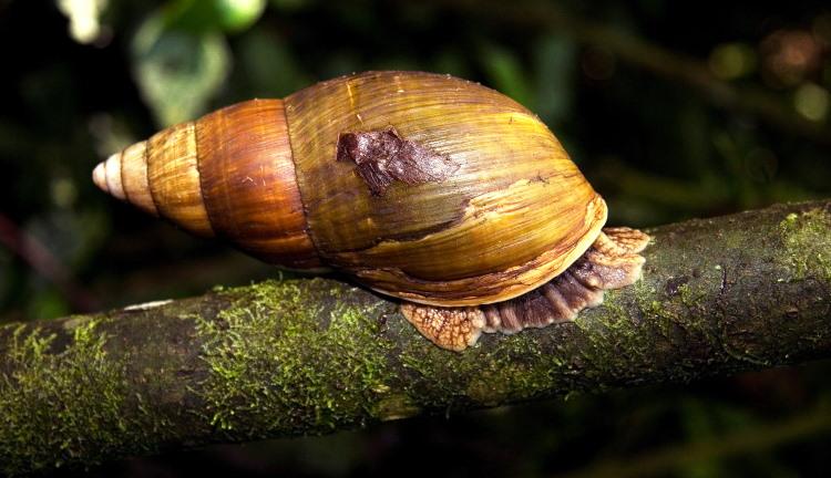 mollusk visceral mass