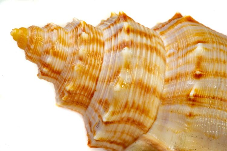 mollusca tusk shell
