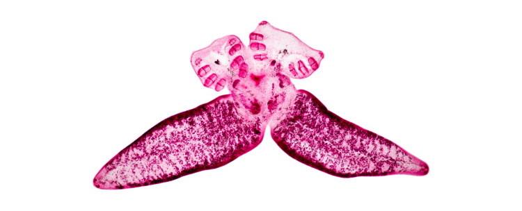 monogenea Diplozoon paradoxum