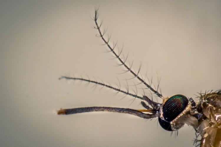 mosquito antennae