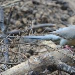 Mousebirds: The Gregarious World Of The Colliformes