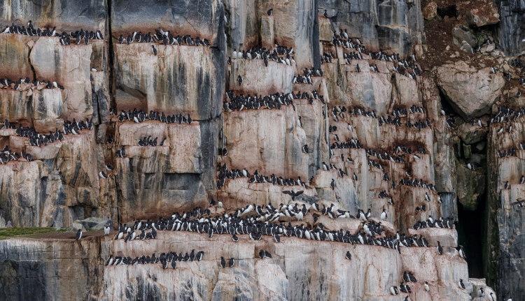 murre bird colony