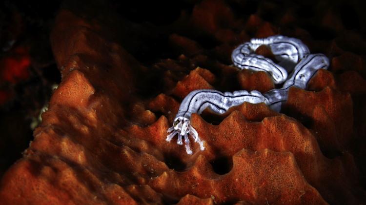 nemertea proboscis image