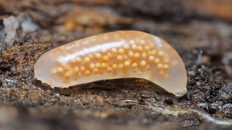 nemertea worm eggs