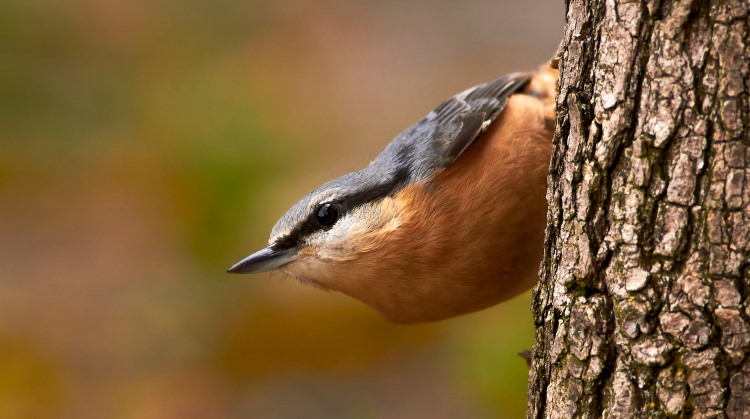 sittidae nuthatch climbing a tree