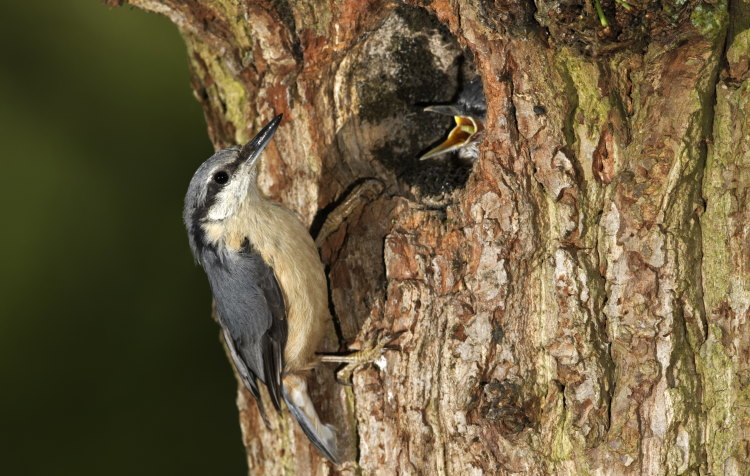 nuthatch nest with chick