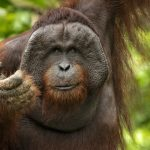 Orangutan Facts: All About These Interesting & Intelligent Animals