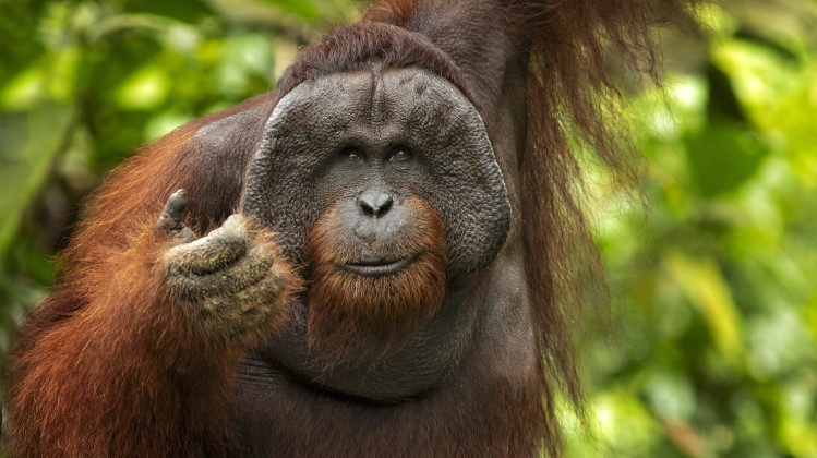 orangutan facts feature image