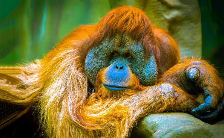facts about orangutan