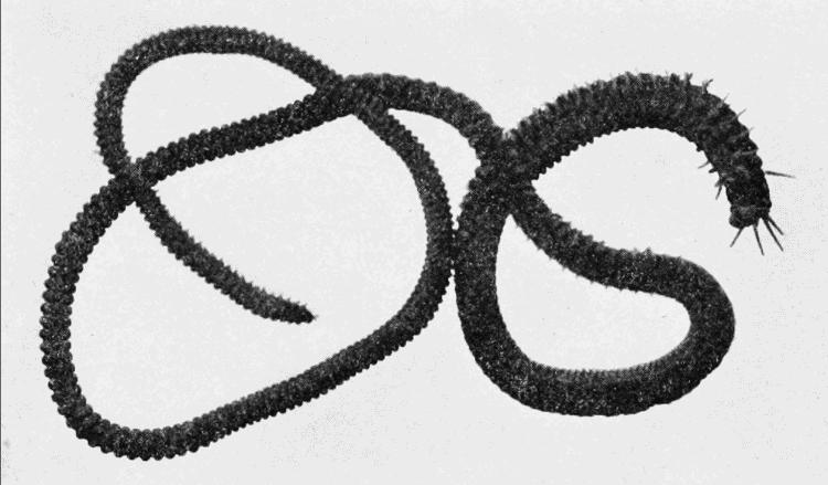 palolo worm