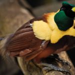 Birds of Paradise: The Stunningly Beautiful Family Of Paradisaeidae