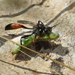 Parasitic Wasps 101: Nature's Biological Control Weapons