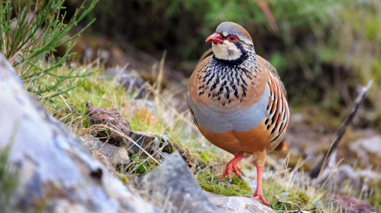 partridge of order Galliformes header