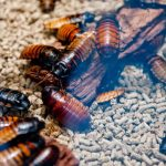 Pet Cockroach 101: How To Take Care Of (And Love) Your Roach