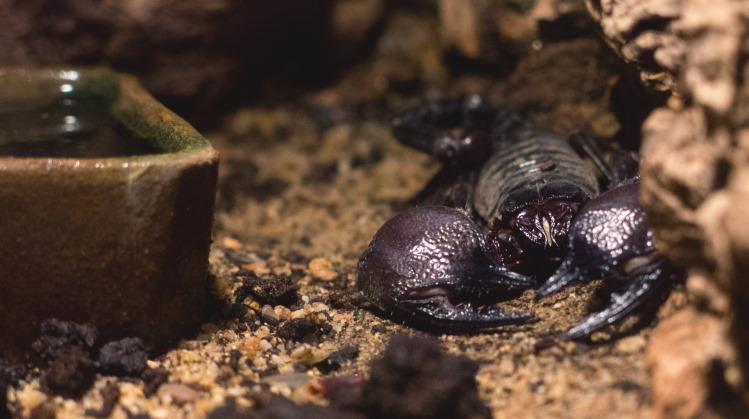 pet scorpion in terrarium