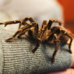 Tarantula Care Sheet: How To Look After Your Pet Tarantula