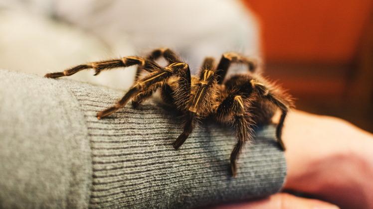 tarantula pet on girl's arm