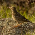 Pipits, Wagtails & Longclaws: The Family Motacillidae