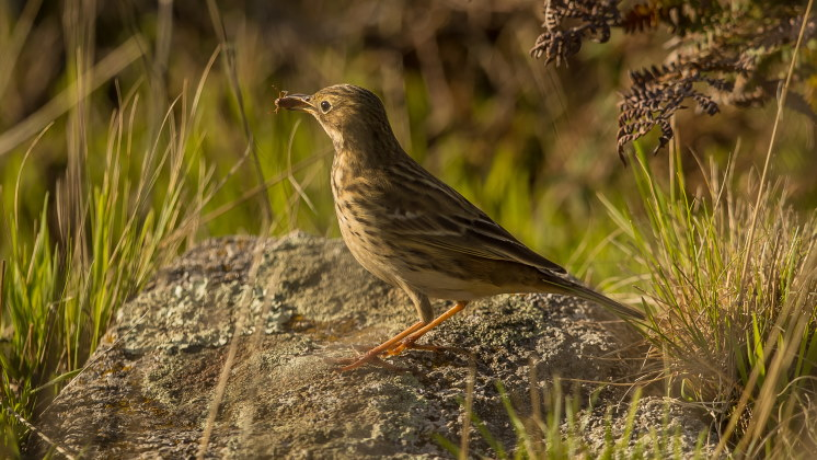 pipit with bug
