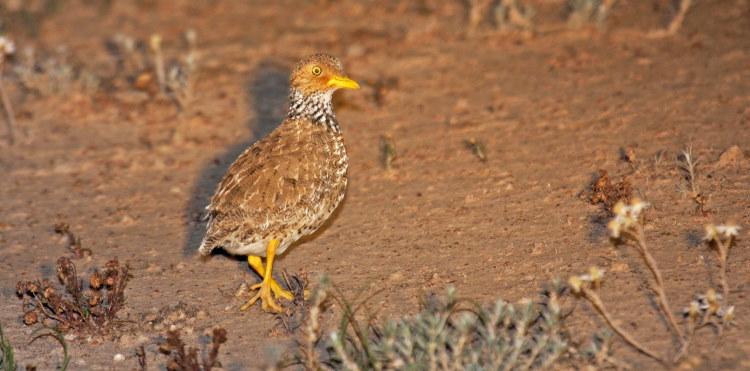 plains wanderer bird