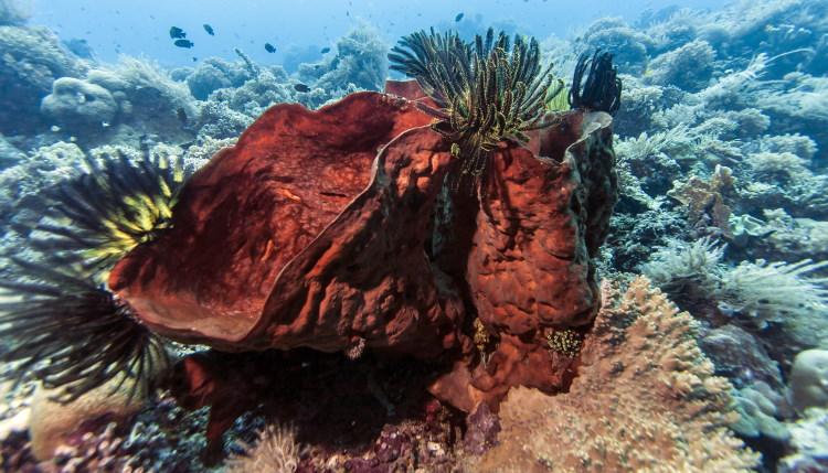 Porifera Desmacellidae Neofibularia nolitangere