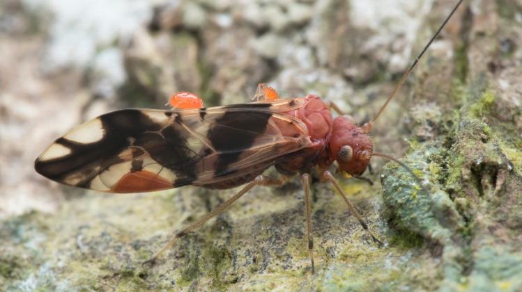 psocoptera on bark