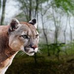 Big Cats 101: Facts, Records & List Of Species In The Family Felidae
